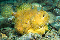 Yellow Striped Frogfish, walking<br /> <br /> Shot in Indonesia