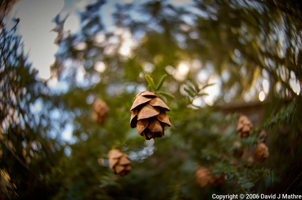 Small Pine Cones. Backyard Winter Nature in New Jersey. Image taken with a Nikon D2xs camera and 10.5 mm f/2.8 fisheye lens (ISO 100, 10.5 mm, f/2.8, 1/90 sec).