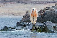 Polar bear dyed with clay on Philpots Island on Devon Island at Nunavut, Canada.