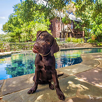 "TEMPTED, waiting for the ""jump in"" command. Beautiful pool and luxurious mansion is for sale....(dog not included!)"