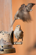 A song sparrow chases off another sparrow from its perch at a backyard bird feeder