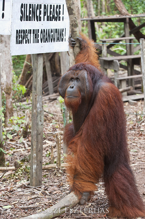 Bornean Orangutan <br /> Pongo pygmaeus<br /> Dominant male next to park sign<br /> Tanjung Puting National Park, Indonesia