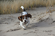 Basset running on beach, and in snow and dog lounging
