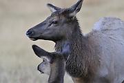 Cow Elk, Elk, Yellowstone National Park, Wyoming, Wildlife Management, Yellowstone