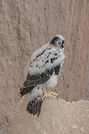 Nestling peregrine falcon on a boulder on the talus slope at the base of the cliff below the eyrie cave. He had been prematurely fledged by an unknown cause with all his siblings and was the sole survivor, here about 4 weeks old. Watched over and fed by his parents, he walked/flapped to the boulder, the highest point he could reach, during the day, then back to a cave at the base of the cliff at night. © 2015 David A. Ponton  [Prints to 8x12, 16x24, 24x36 or 40x60 in. with no cropping]