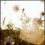 Garden Daisies with Summer Sunlight
