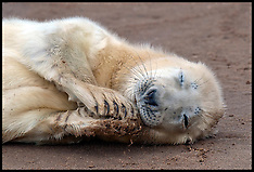 Seals in Danger in Lincolnshire,