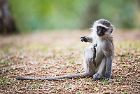 Vervet Monkey scratching, Marataba Private Game Reserve, Limpopo, South Africa