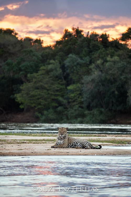 Jaguar<br /> Panthera onca<br /> Resting on riverbank at sunset<br /> Cuiaba River, Brazil