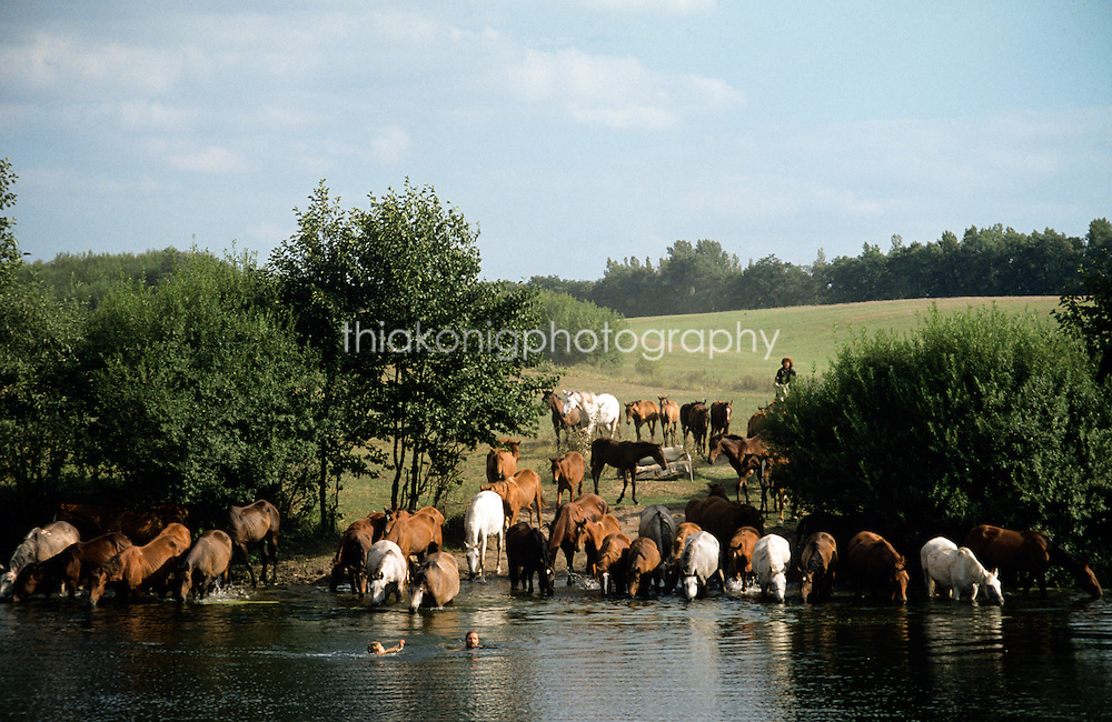 Man and son swim in river with wild horses drinking on far bank, outskirts of Krasnoyarsk, Russia