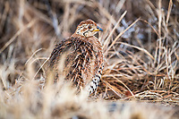 Female Coqui francolin, Pilanesberg National Park, North West, South Africa