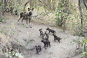 African Wild Dog<br /> Lycaon pictus<br /> Mother and 6 week old pups at den<br /> Northern Botswana, Africa<br /> *Endangered species