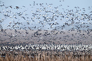 Northern Pintails, Anas acuta, Snow Geese, Chen caerulescens, Greater White-fronted Geese, Anser albifrons, Brown County, South Dakota