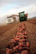 Harvesting potatoes in a field
