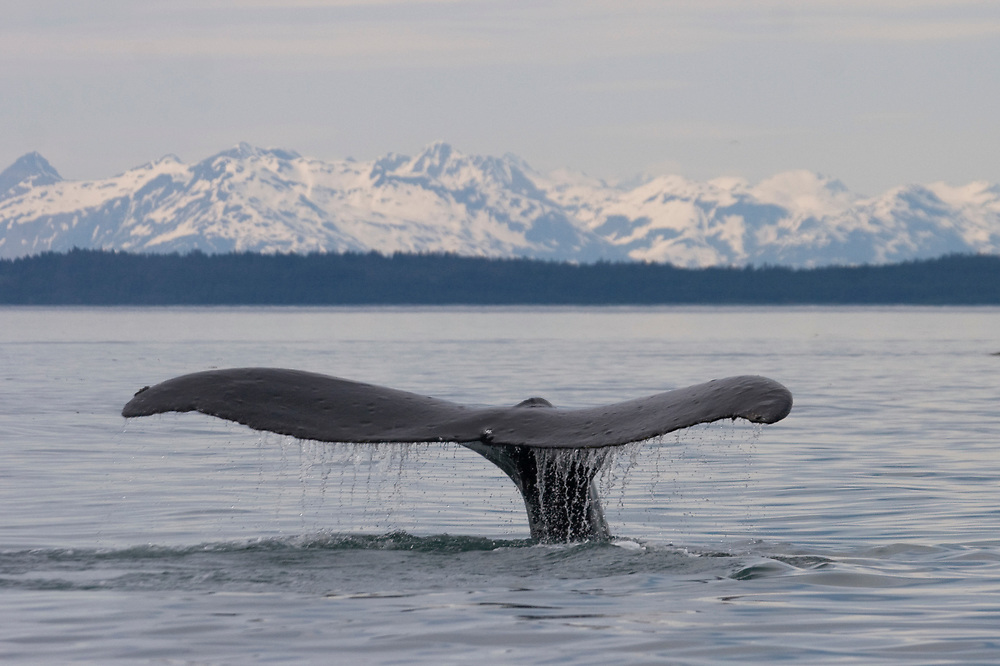 A humpback whale (Megaptera novaeangliae) dives with water trailing off its edge with the snowy mountains of Glacier Bay National Park in the background.
