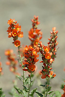 Globe Mallow is an orange wildflower can be found on mountain sides and in the arid valleys below.