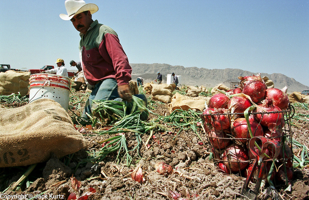 "20 MAY 1999 - PRESIDIO, TEXAS: Leopoldo Carrasco, a migrant worker from Presidio, Texas, harvests onions in a field near Presidio May 20. The workers start in the fields at first light and work until mid-afternoon or later. The temperature at the end of the work day is frequently over 100 degrees. The onion harvest in south Texas started earlier this month and ends May 21. Agriculture is the main industry in Presidio, a town of 3,000 people that borders Mexico on the Rio Grande river. Hundreds of people are employed as short term seasonal workers during the onion harvest which ends with the town's ""Onion Festival"" May 22. Onions are shipped from Presidio to destinations across the United States.      Photo by Jack Kurtz   AGRICULTURE  BORDER  LABOUR  ECONOMY   FOOD   IMMIGRANTS"