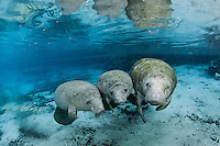 Florida manatee, Trichechus manatus latirostris, a subspecies of the West Indian manatee, endangered. Two male manatee calves take a break from playing while one of their mothers checked in. One of a series of calf intimate play or cavorting play behaviors. Horizontal orientation and blue water and reflection. Three Sisters Springs, Crystal River National Wildlife Refuge, Kings Bay, Crystal River, Citrus County, Florida USA.