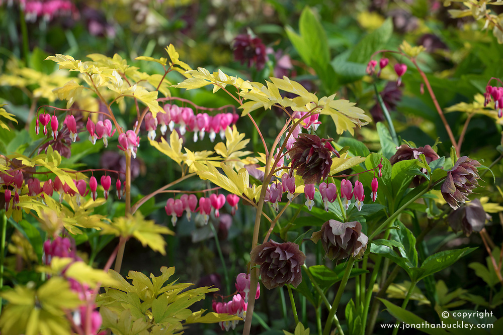 Label defo said Dicentra spectabilis 'Valentine' syn. Lamprocapnos with Helleborus orientalis 'Double Ellen Red' but why the yellow/golden foliage? Looks more like e.g 'Goldheart'