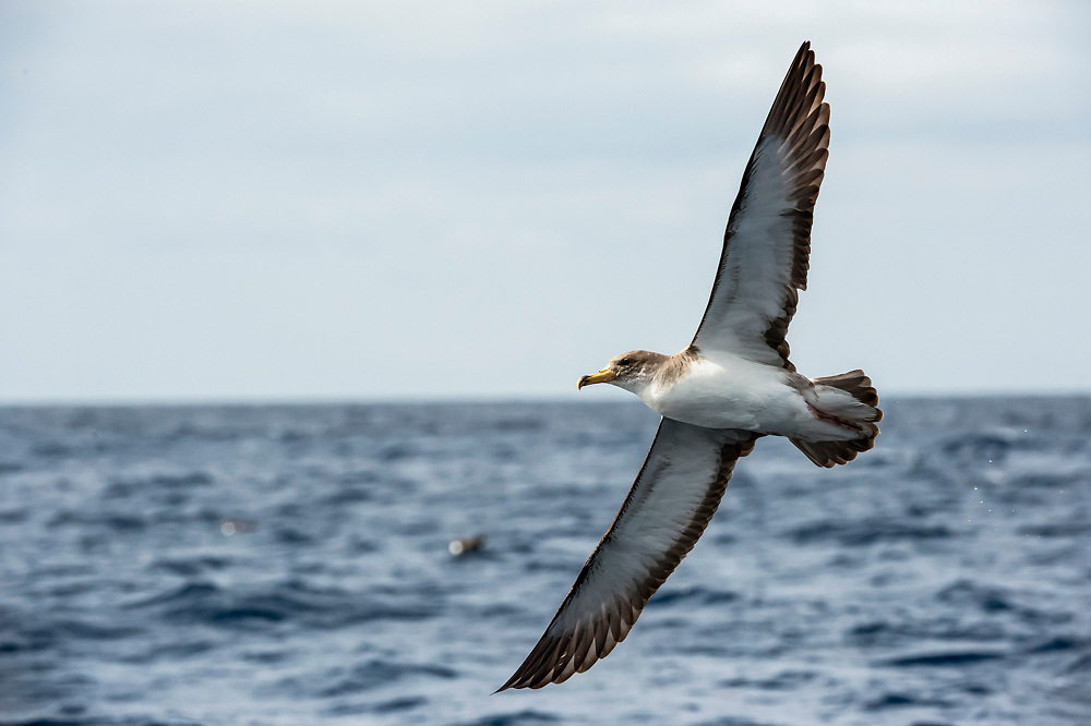 The Azores, a Portuguese archipelago in the North Atlantic, is home to roughly 60% of the world's Cory's Shearwater, Calonectris diomedea, population. Up to 180,000 pairs of this seabird, cousin of the albatross, breed in the islands in late summer.