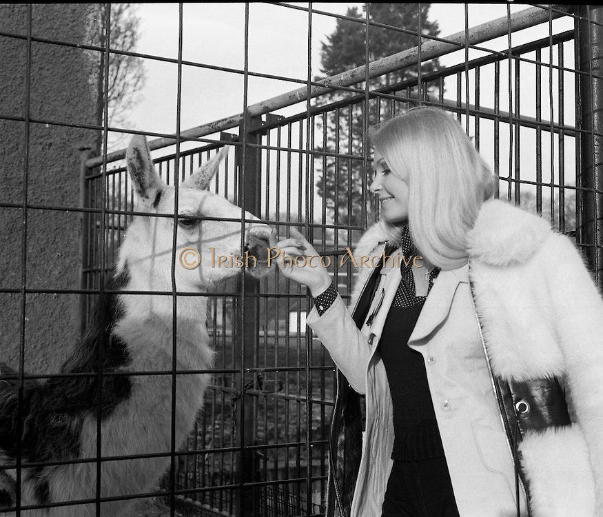 """Former Miss World Visits Dublin Zoo.<br /> 1973.<br /> 14.01.1973.<br /> 01.14.1973.<br /> 14th January 1973.<br /> Miss Eva Rueber-Staier, former Miss World from Austria and the """"World Wildlife Fund's Anniversary Girl"""", paid her first visit to Ireland to open the Shell/BP Irish Wildlife Promotion. As part of the promotion Eva paid a visit to Dublin Zoo in the Phoenix Park, Dublin.<br /> <br /> Image shows Miss Rueber-Staier petting a llama during her visit to the Zoo."""