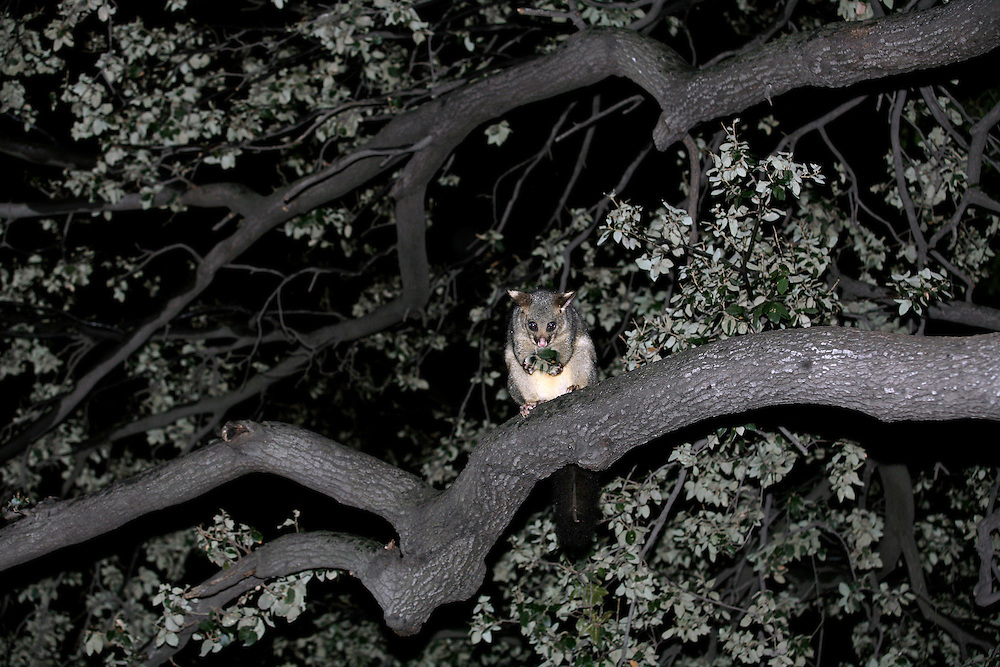 An opossum eating in his natural habitat, New Plymouth, New Zealand, July 07, 2005. Credit:SNPA / Rob Tucker