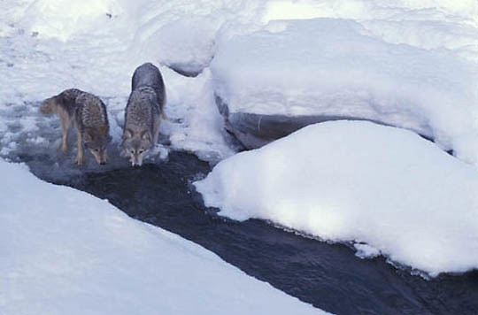 Gray Wolf, (Canis lupus) Pair drinking from stream. Winter. Midwest.  Captive Animal.