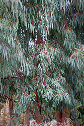 Eucalyptus nicholii - Narrow-leaved black peppermint, Nichol's willow-leafed peppermint.