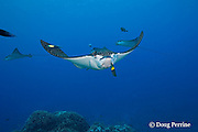 spotted eagle ray, Aetobatus narinari, being cleaned by two-tone wrasse, Thalassoma amblycephalum (at nostril) and bicolor cleaner wrasses, Labroides bicolor, at Ice Cream bommie, Saipan, Commonwealth of Northern<br /> Mariana Islands, Micronesia ( Western Pacific Ocean )