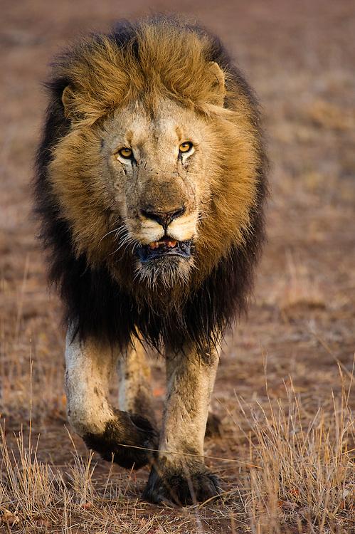 Adult male African Lion (Panthera leo) walking