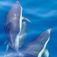 Alberto Carrera, Dolphins, Short-beaked common Dolphin, Delphinus delphis,