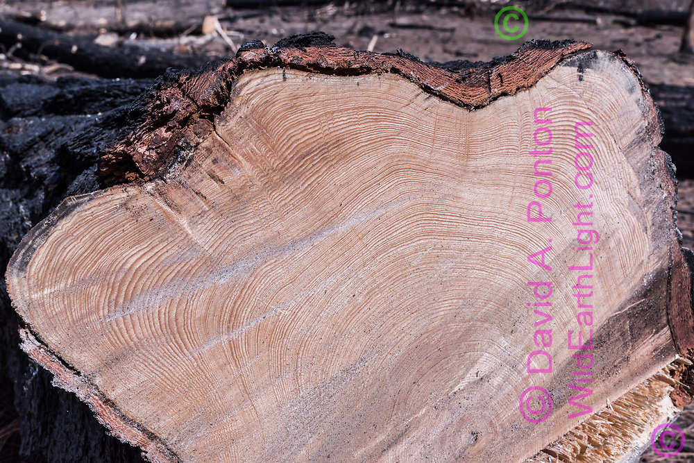 Ponderosa pine tree killed by fire (Cajete Fire, 2017) and felled for timber salvage 10 months later shows over 180 rings. Jemez Mountains, NM, © 2018 David A. Ponton