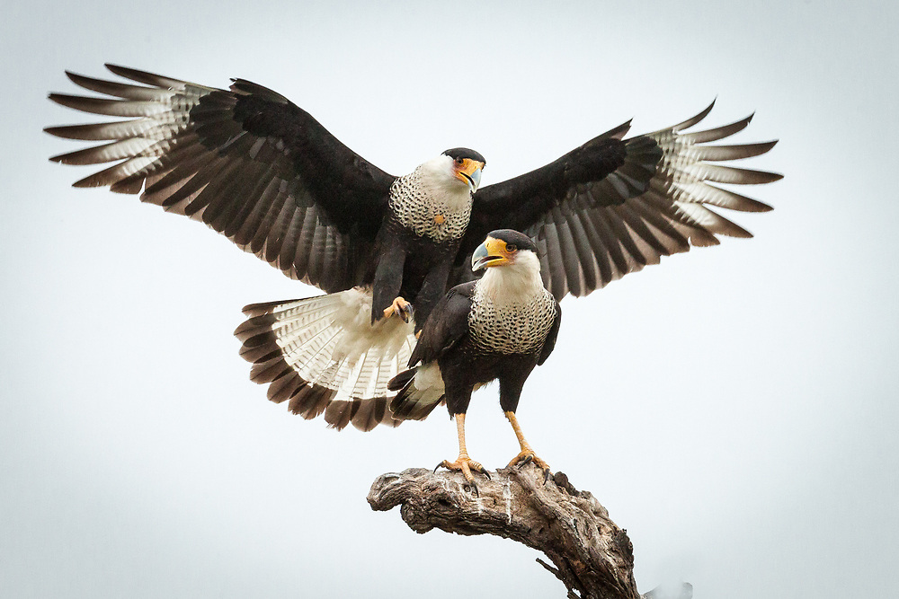 Caracara cheriway, south Texas - many more on Melody Lytle in Flickr.