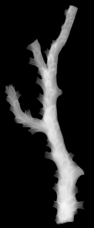 X-ray image of deepwater staghorn coral (white on black) by Jim Wehtje, specialist in x-ray art and design images.