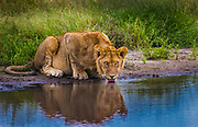 Young male lion drinking from a waterhole, Serengeti National Park, Tanzania