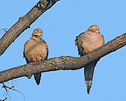 A pair of mourning doves, probably lovers. They supposedly mate for life.