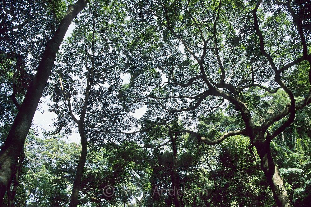 Rainforest trees, Tai Po Kau Nature Reserve, Hong Kong, China.