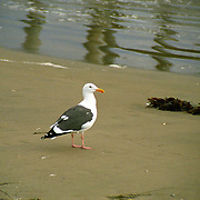 Segull along the Pacific Ocean in Huntington Beach, California