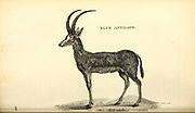 Blue Antelope from General zoology, or, Systematic natural history Vol II Part 2 Mammalia, by Shaw, George, 1751-1813; Stephens, James Francis, 1792-1853; Heath, Charles, 1785-1848, engraver; Griffith, Mrs., engraver; Chappelow. Copperplate Printed in London in 1801 by G. Kearsley