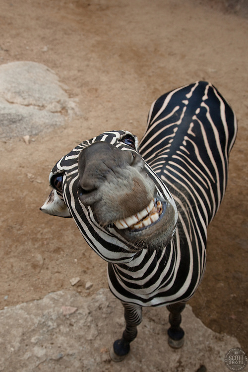 """Zebra Smiling"" - This smiling zebra was photographed in the Puerto Vallarta zoo."