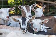Goats, Catapano Dairy Farm, Peconic, NY