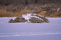 Beaver (Castor canadensis) lodge in frozen lake, Red Deer, Alberta, Canada - Photo: Peter Llewellyn