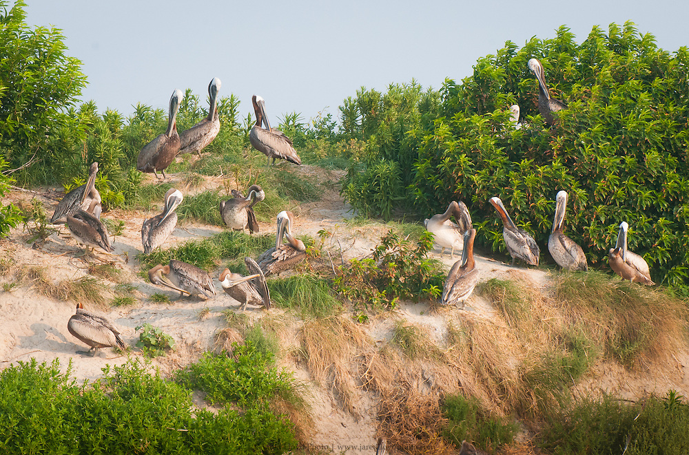 a large group of pelicans loaf along the cliffs of Pelican Island, a major pelican breading rookery in the Pamlico Sound