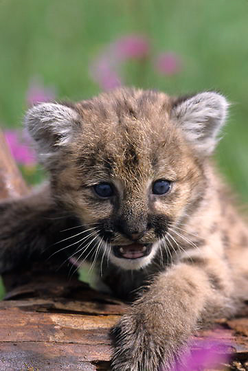 Mountain Lion or Cougar, (Felis concolor) Young cub in field of Shooting Star flowers. Montana. Captive Animal.
