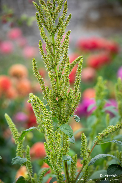 Amaranthus viridis check i.d which variety
