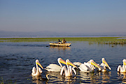 Pelicans waiting for the fishermen's boats to arrive on Hawassa, Ethiopia.