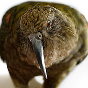 [captive] The beak of a Kea (Nestor notabilis) is long and very useful for seizing objects. These animals are kept in an outdoor aviary (250 m2) at the Kea Lab of the Messerli Research Institute. Researchers can cut off certain areas of the aviary in a way that they are only accessible for single animals. The picture was taken in cooperation with the University of Vienna (UniVie) and University of Veterinary Medicine Vienna (VetMed). | Der Kea oder Bergpapagei (Nestor notabilis) hat einen langen Schnabel, der sich gut zum Greifen eignet. Im Kea Lab des Messerli Forschungsinstituts werden die Tiere in einer 520 m2 großen Außenvoliere gehalten. Forscher können für die Versuche bestimmte Bereiche abtrennen und nur für einzelne Tiere zugänglich machen. Das Bild wurde in Zusammenarbeit mit der Veterinärmedizinischen Universität Wien und der Universität Wien erstellt.
