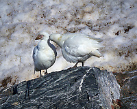 Pair of Snowy Sheathbill's on Elephant Island. Image taken with a Leica T camera and 18-56 mm lens (ISO 100, 56 mm, f/16, 1/500 sec). Raw image processed with Capture One Pro, Focus Magic, and Photoshop CC.
