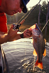 Man pulling a freshly caught Largemouth bass (Micropterus psalmodies) from a lake at dusk.