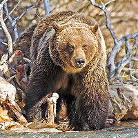 grizzly bear eating elk stream,